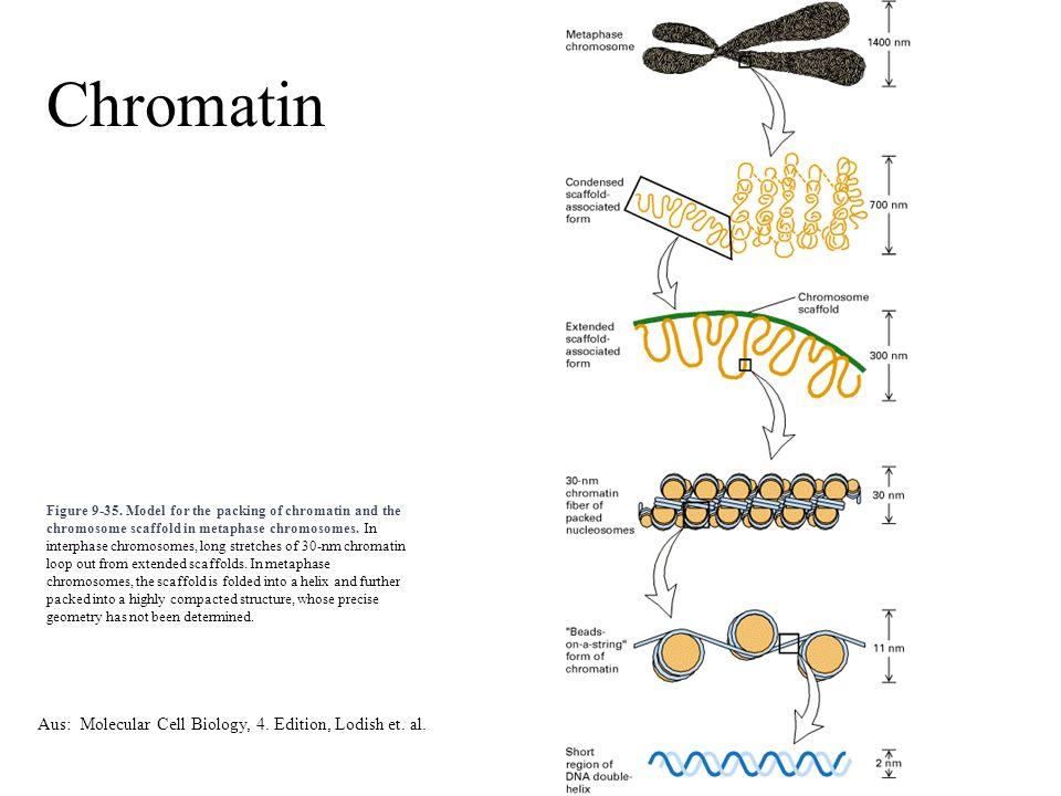 Chromatin Aus: Molecular Cell Biology, 4. Edition, Lodish et. al.