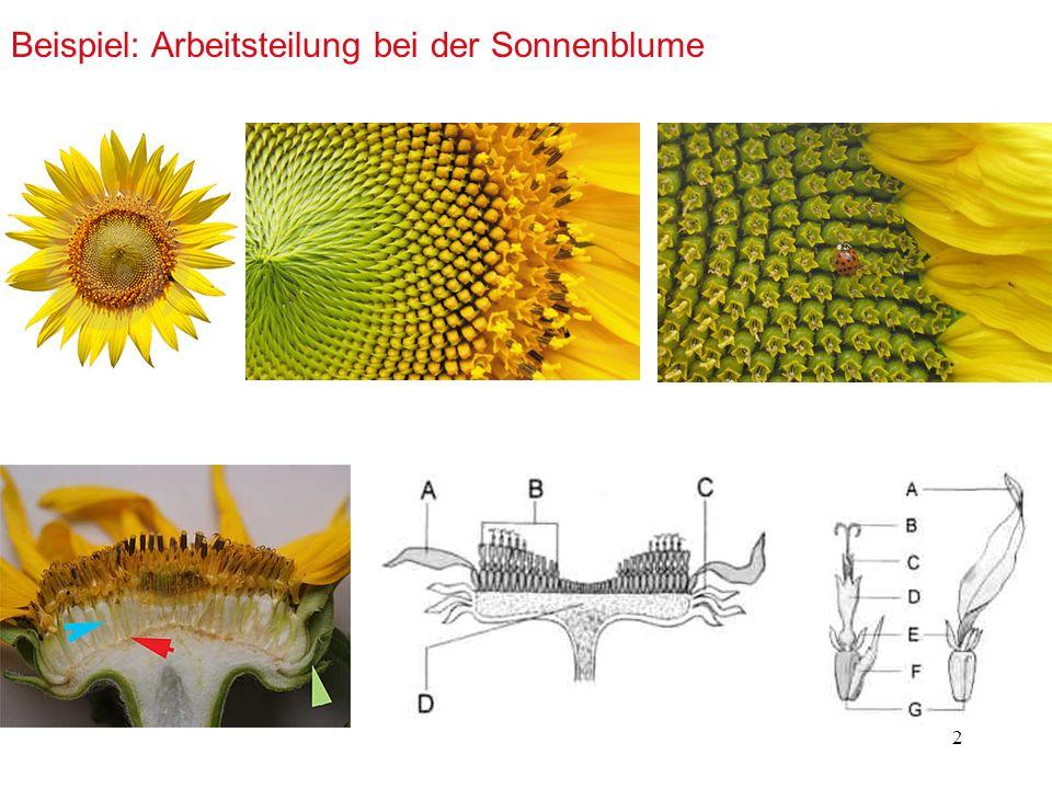 Beispiel: Arbeitsteilung bei der Sonnenblume