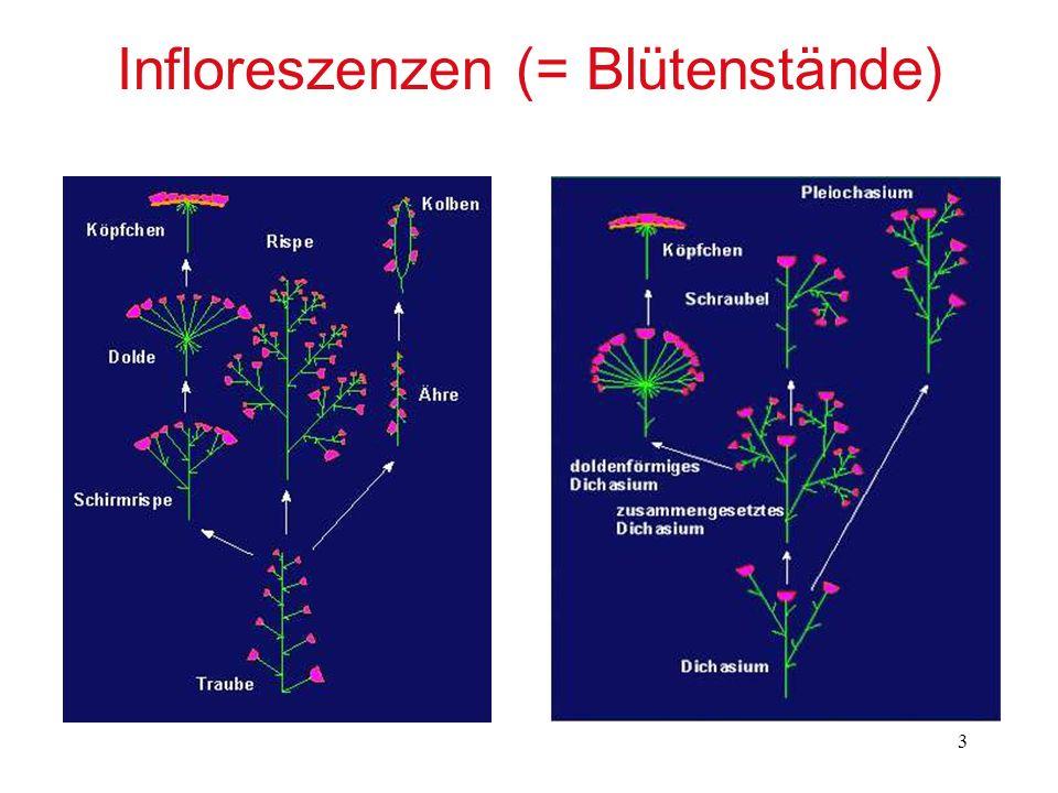 Infloreszenzen (= Blütenstände)