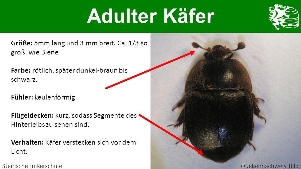 Adulter Käfer Größe: 5mm lang und 3 mm breit. Ca. 1/3 so groß wie Biene. Farbe: rötlich, später dunkel-braun bis schwarz.