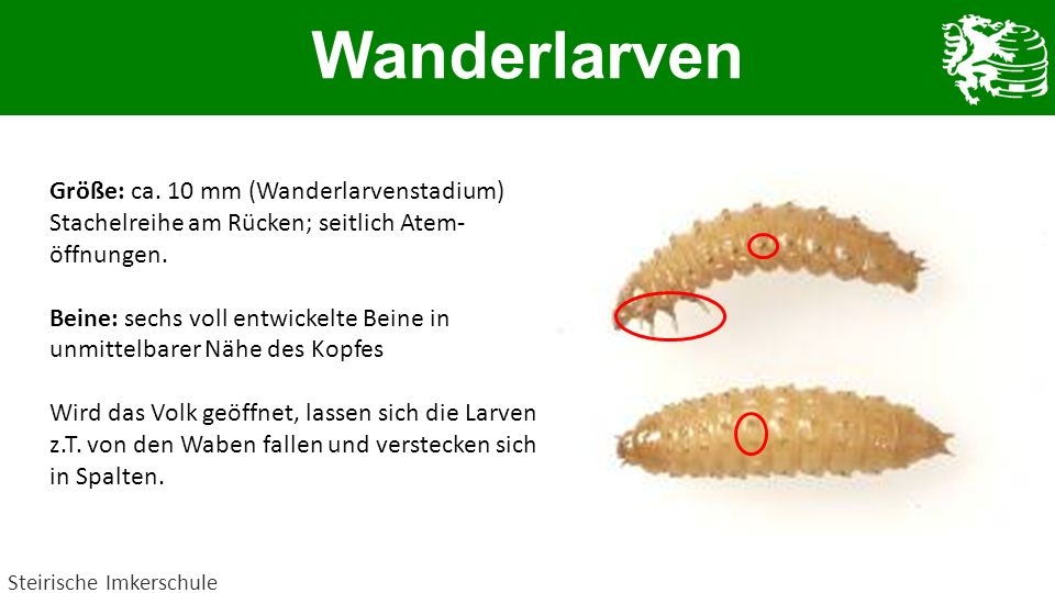 Wanderlarven Größe: ca. 10 mm (Wanderlarvenstadium)