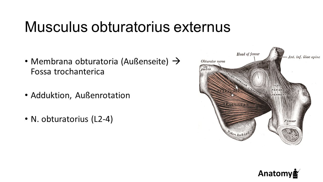 Musculus obturatorius externus