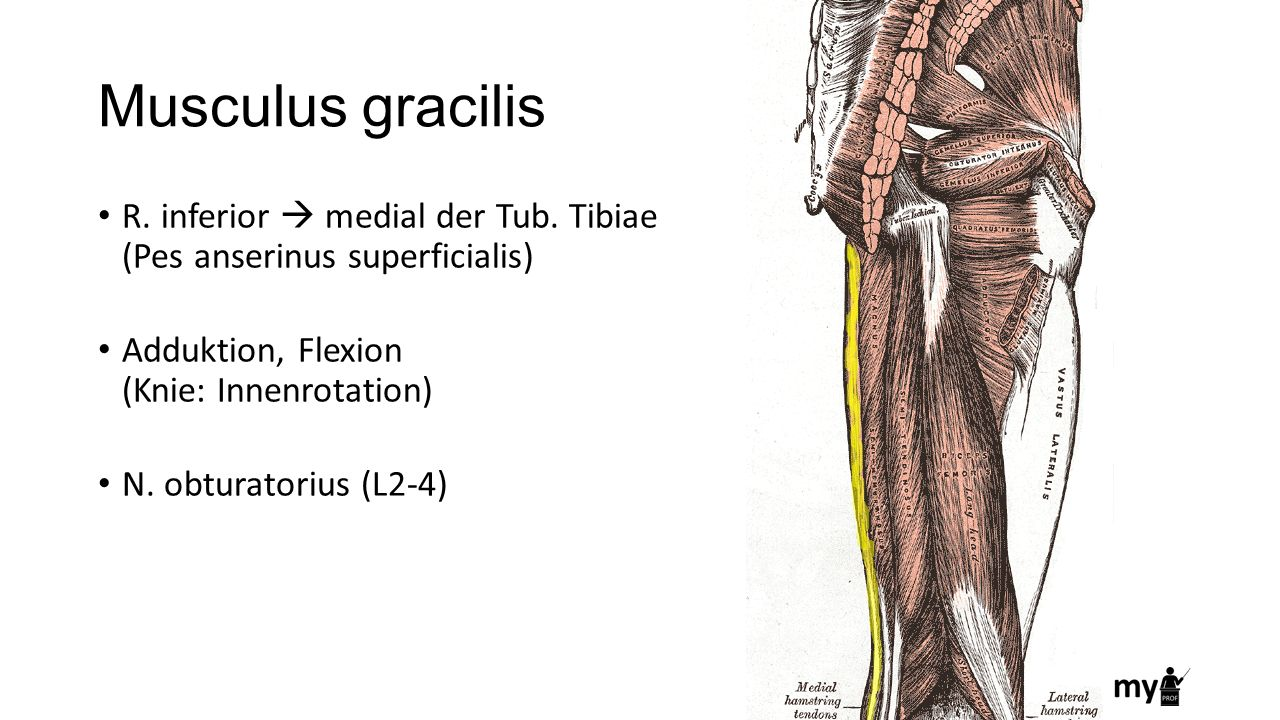Musculus gracilis R. inferior  medial der Tub. Tibiae (Pes anserinus superficialis) Adduktion, Flexion (Knie: Innenrotation)