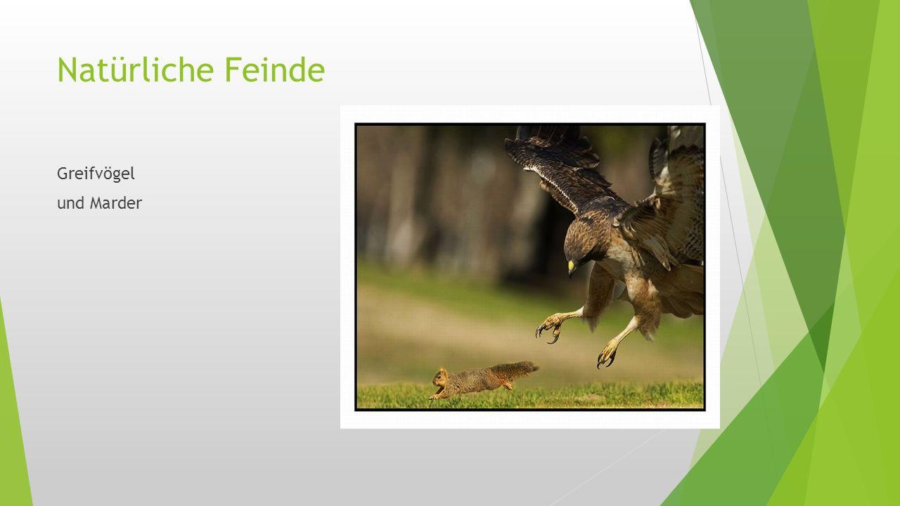 Natürliche Feinde Greifvögel und Marder