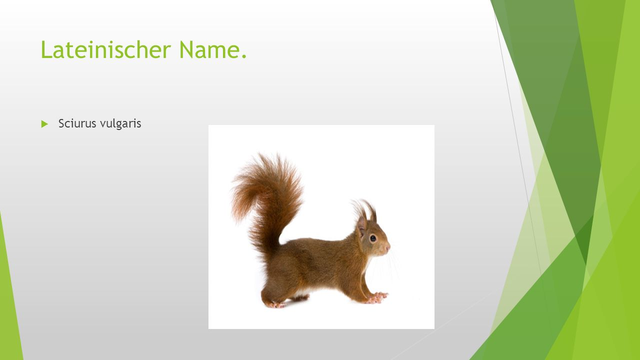 Lateinischer Name. Sciurus vulgaris