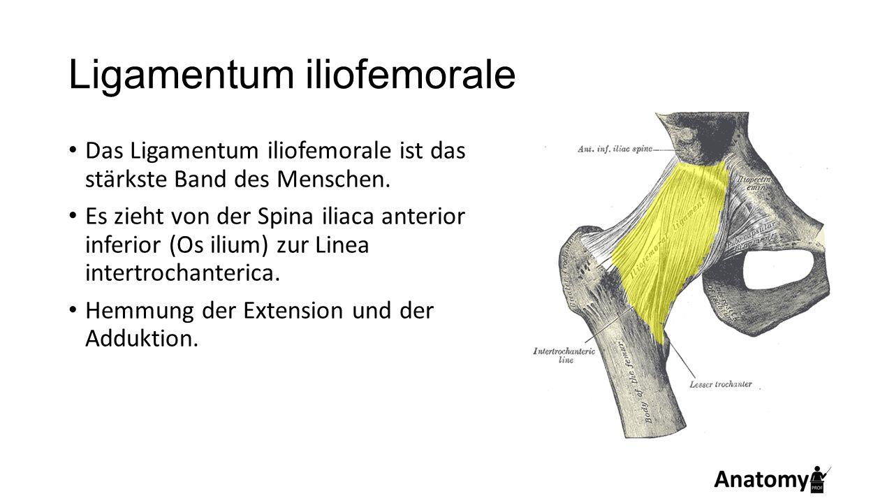 Ligamentum iliofemorale