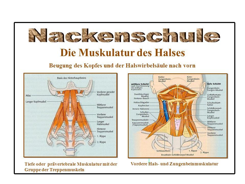 Die Muskulatur des Halses