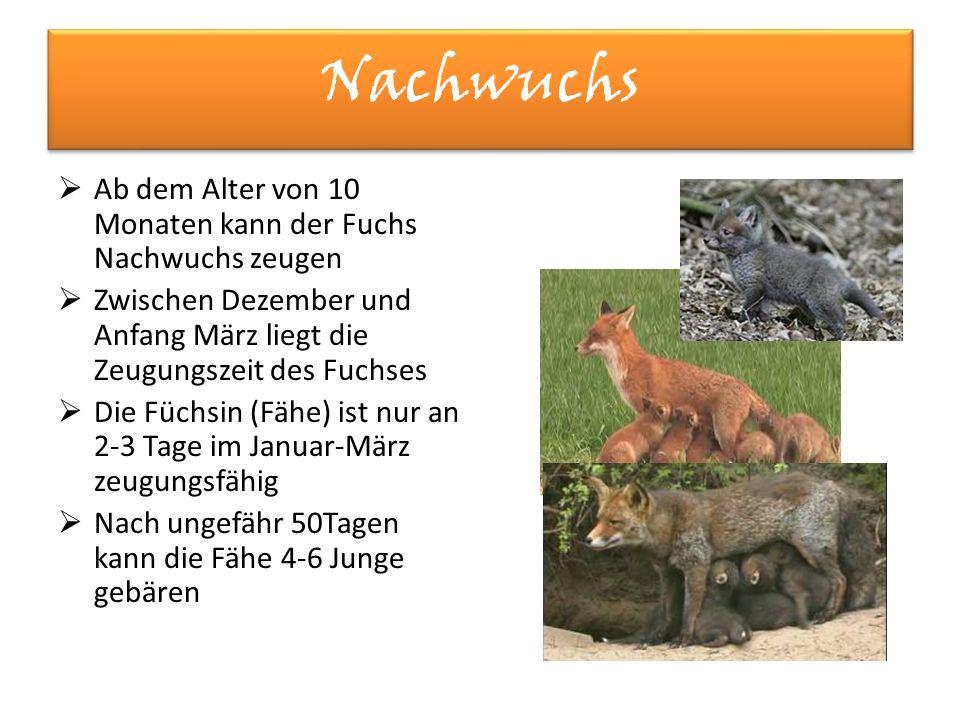 Nachwuchs Ab dem Alter von 10 Monaten kann der Fuchs Nachwuchs zeugen