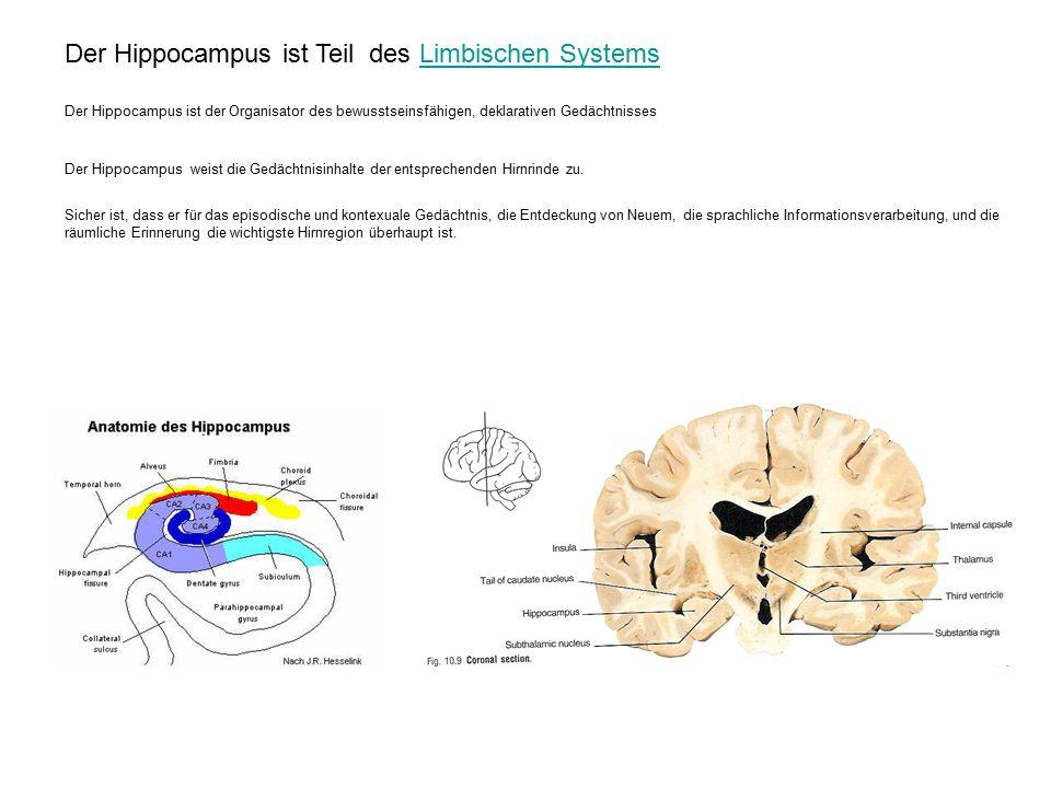 Der Hippocampus ist Teil des Limbischen Systems