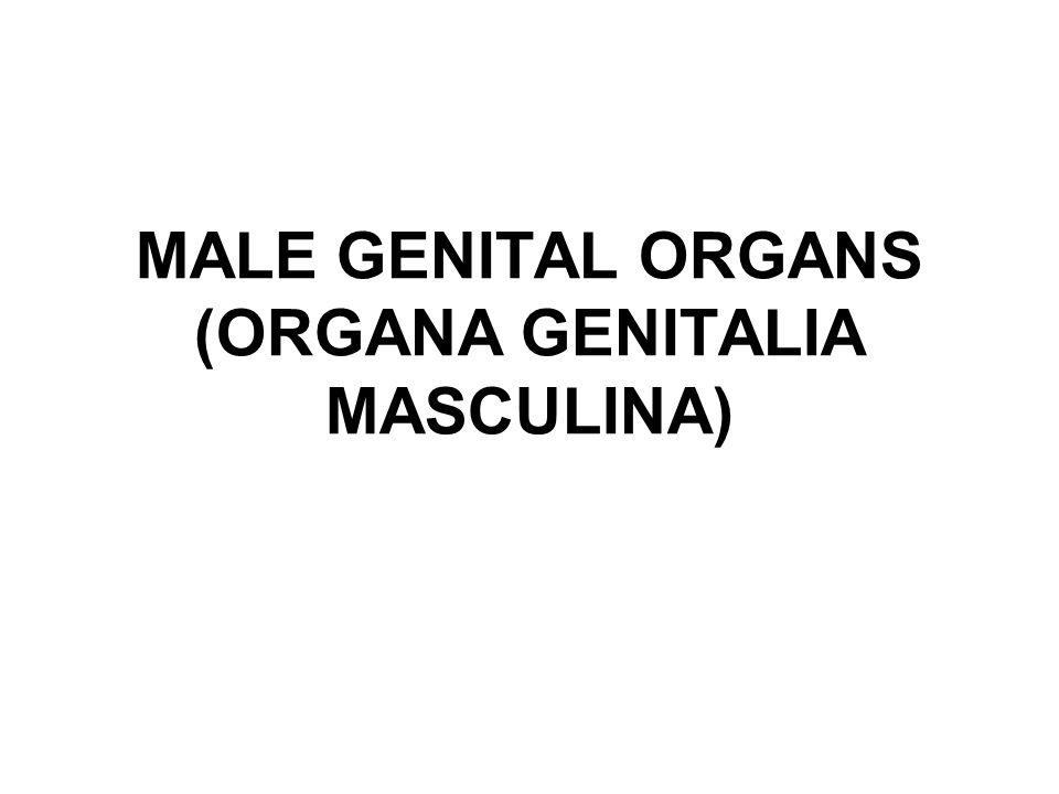 MALE GENITAL ORGANS (ORGANA GENITALIA MASCULINA)