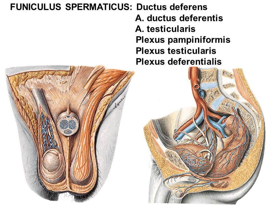 FUNICULUS SPERMATICUS: Ductus deferens