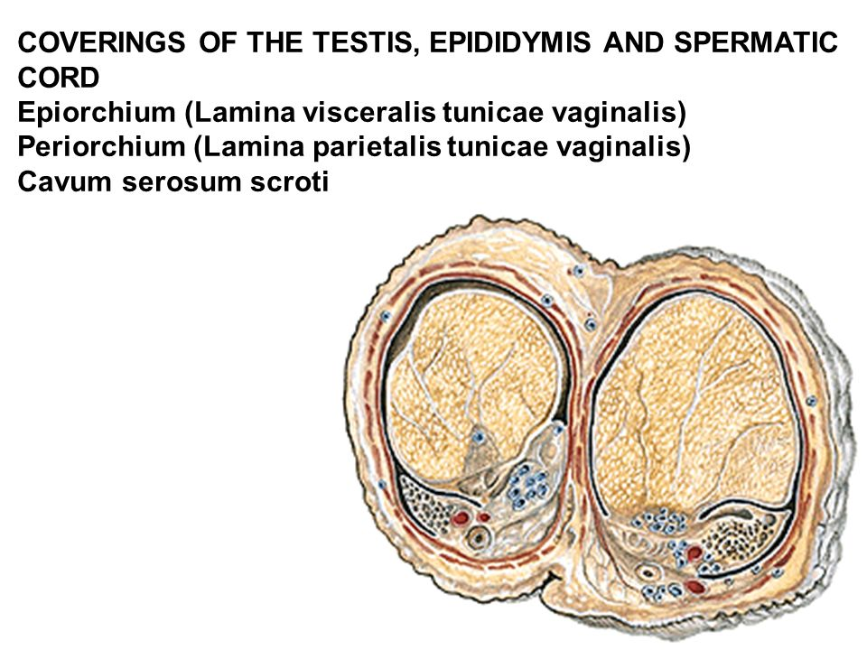 COVERINGS OF THE TESTIS, EPIDIDYMIS AND SPERMATIC