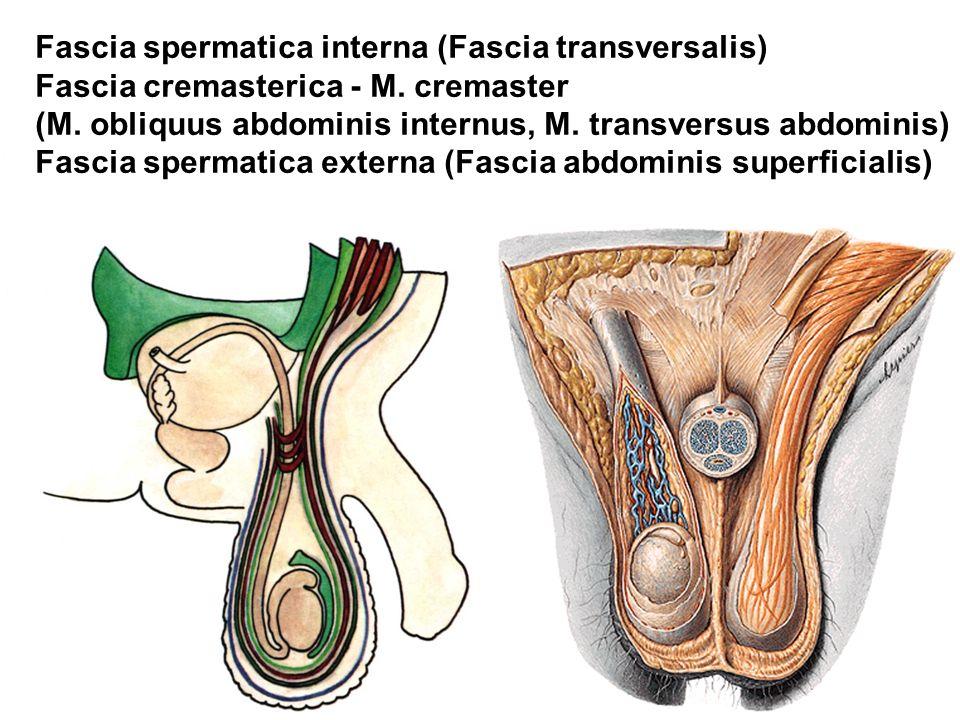 Fascia spermatica interna (Fascia transversalis)