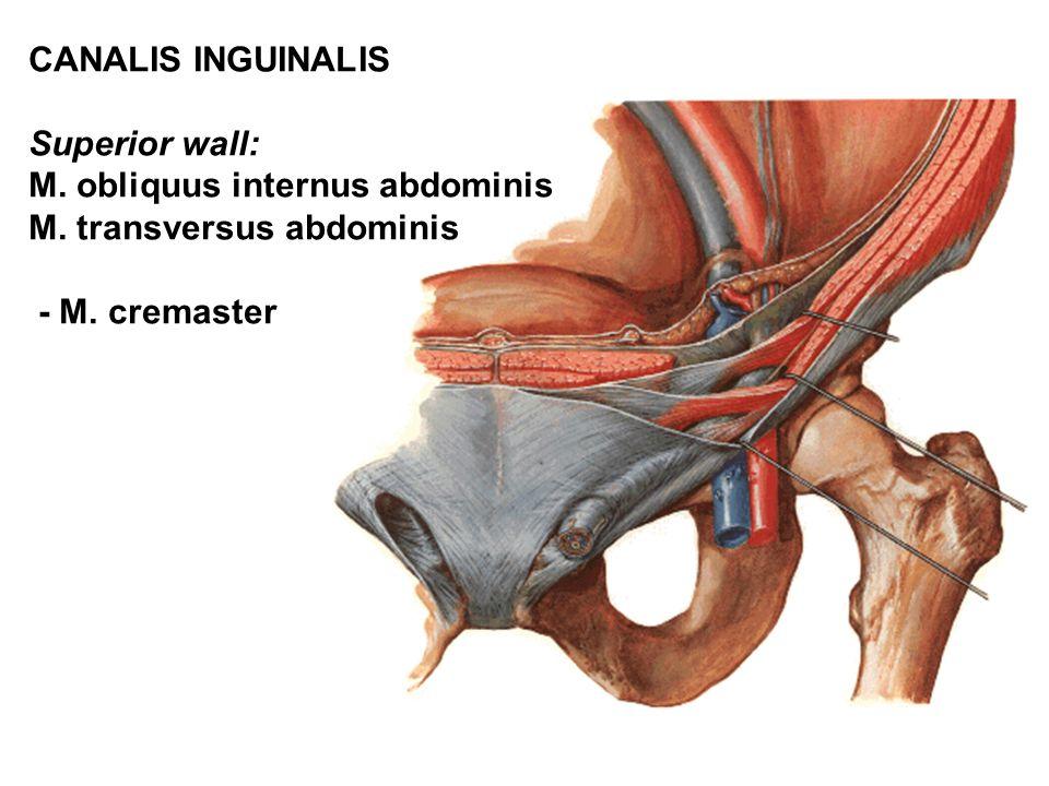 CANALIS INGUINALIS Superior wall: M. obliquus internus abdominis.