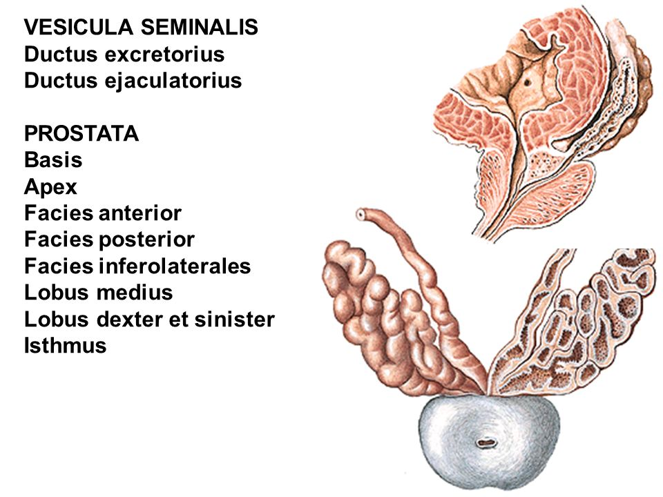 VESICULA SEMINALIS Ductus excretorius. Ductus ejaculatorius. PROSTATA. Basis. Apex. Facies anterior.