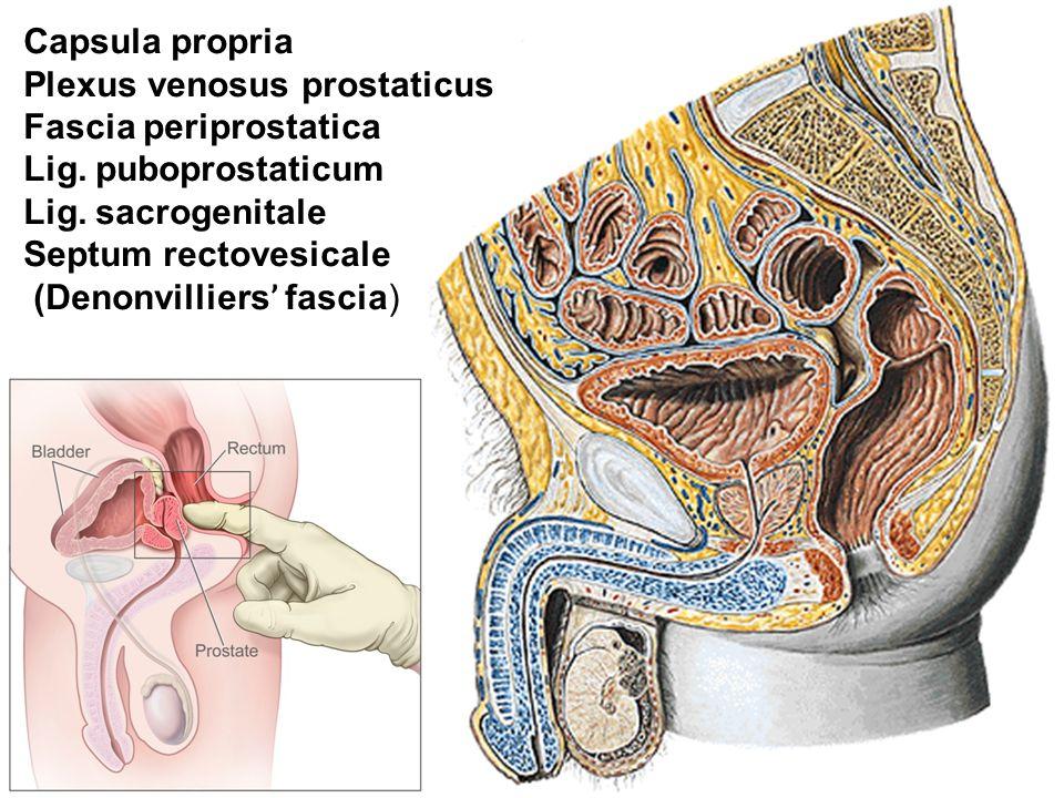 Capsula propria Plexus venosus prostaticus. Fascia periprostatica. Lig. puboprostaticum. Lig. sacrogenitale.