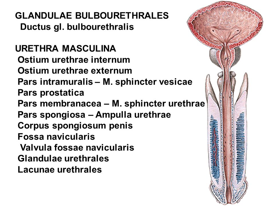GLANDULAE BULBOURETHRALES