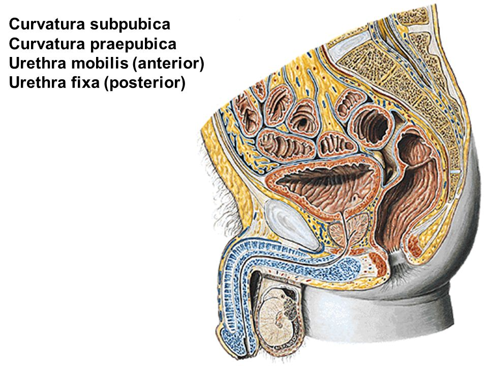 Curvatura subpubica Curvatura praepubica Urethra mobilis (anterior) Urethra fixa (posterior)
