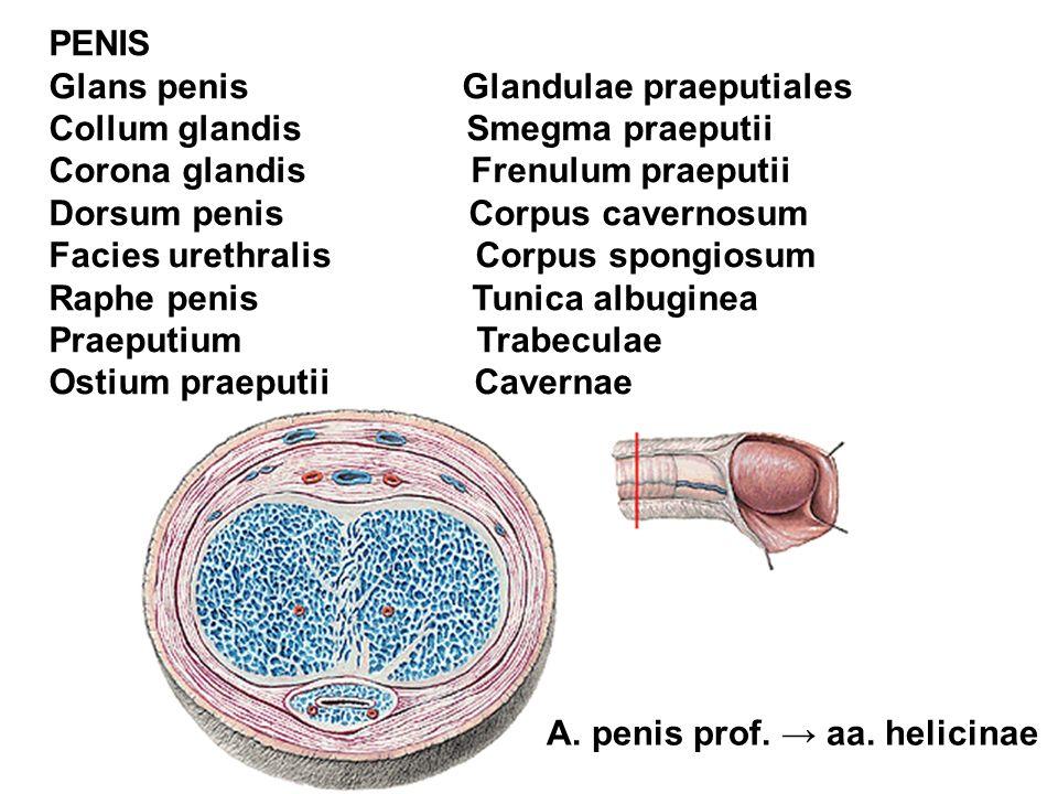 PENIS Glans penis Glandulae praeputiales. Collum glandis Smegma praeputii.