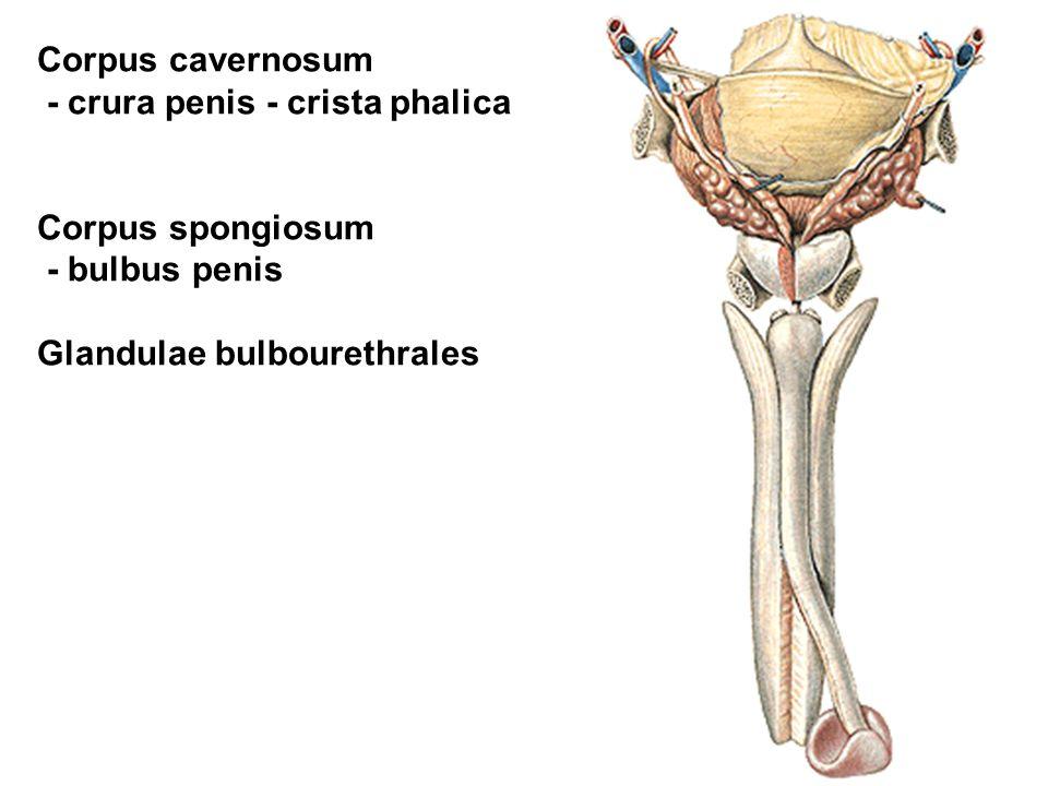 Corpus cavernosum - crura penis - crista phalica. Corpus spongiosum.