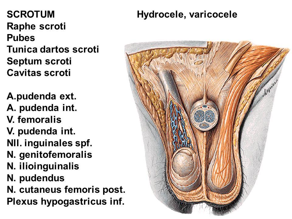 SCROTUM Raphe scroti. Pubes. Tunica dartos scroti. Septum scroti. Cavitas scroti. A.pudenda ext.