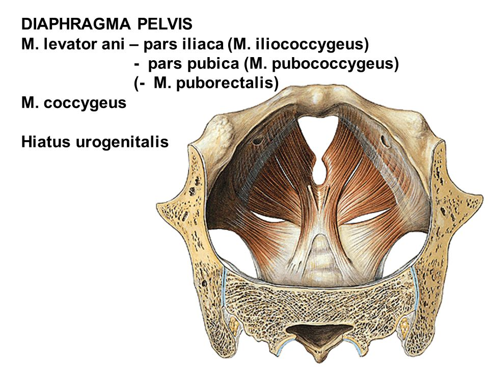 DIAPHRAGMA PELVIS M. levator ani – pars iliaca (M. iliococcygeus) - pars pubica (M. pubococcygeus)