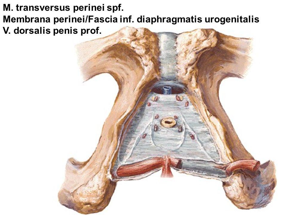 M. transversus perinei spf.