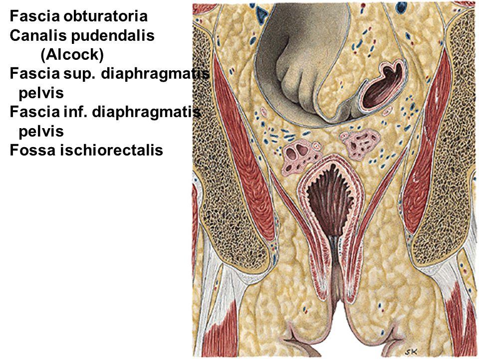 Fascia obturatoria Canalis pudendalis. (Alcock) Fascia sup. diaphragmatis. pelvis. Fascia inf. diaphragmatis.
