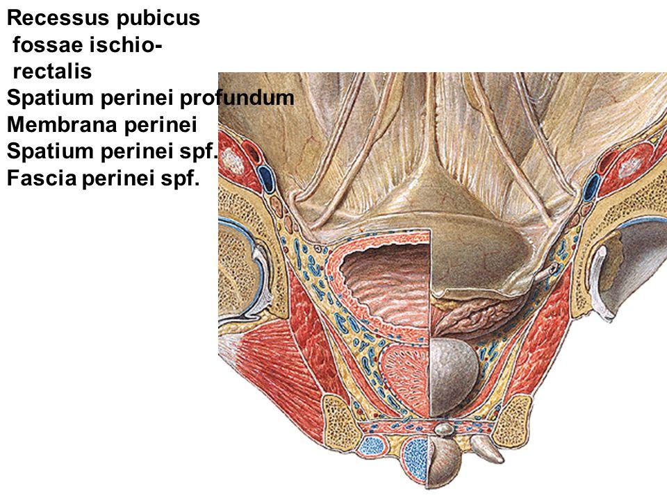 Recessus pubicus fossae ischio- rectalis. Spatium perinei profundum. Membrana perinei. Spatium perinei spf.