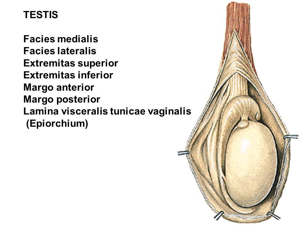 TESTIS Facies medialis. Facies lateralis. Extremitas superior. Extremitas inferior. Margo anterior.