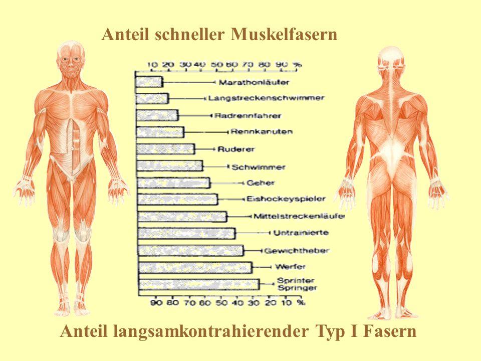 Anteil schneller Muskelfasern