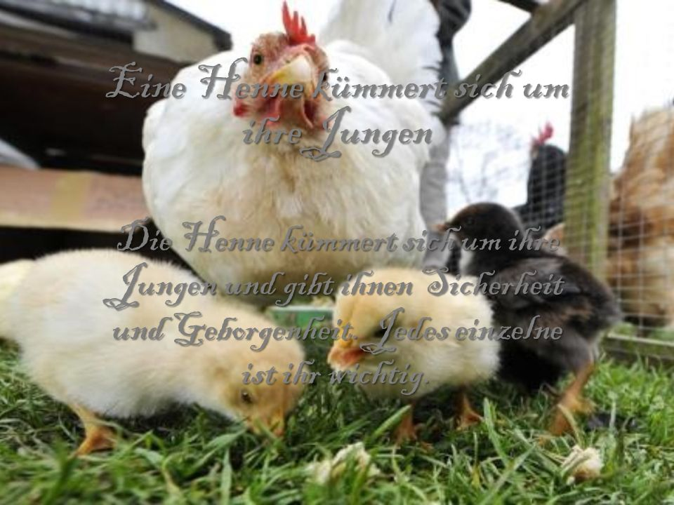 Eine Henne kümmert sich um ihre Jungen