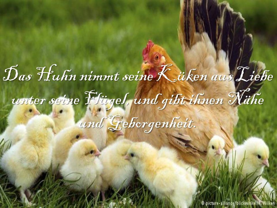 Das Huhn nimmt seine Küken aus Liebe unter seine Flügel, und gibt ihnen Nähe und Geborgenheit.