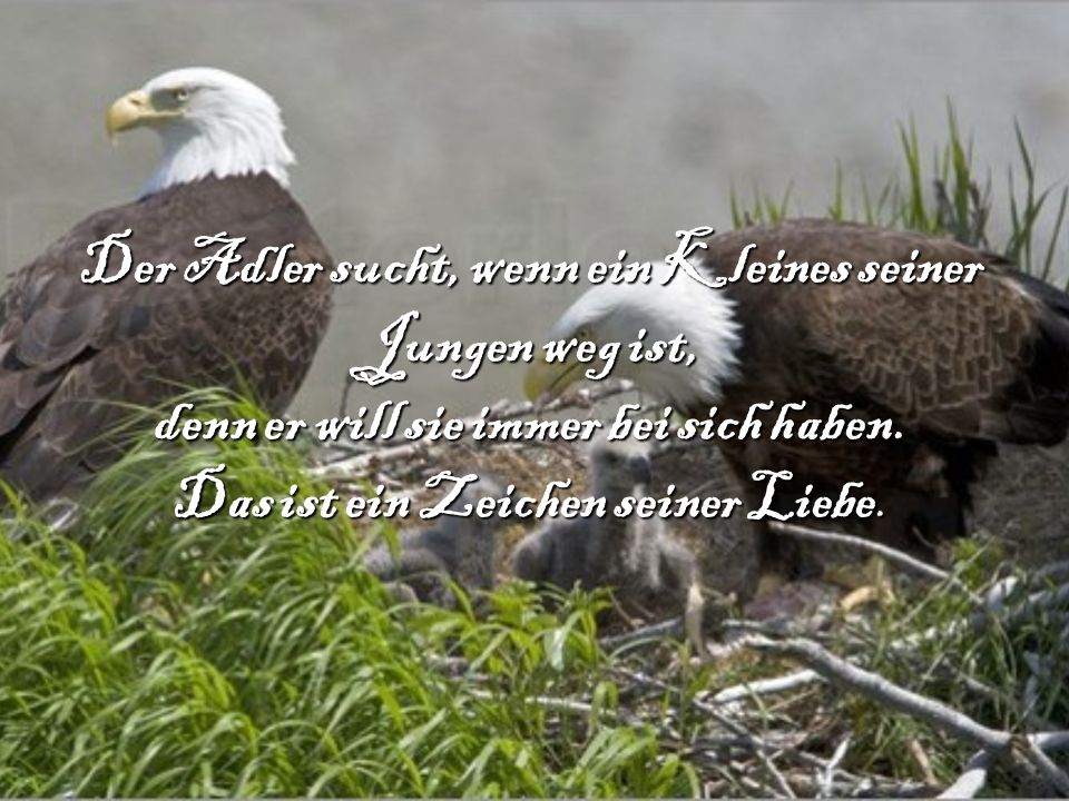 Der Adler sucht, wenn ein Kleines seiner Jungen weg ist, denn er will sie immer bei sich haben.