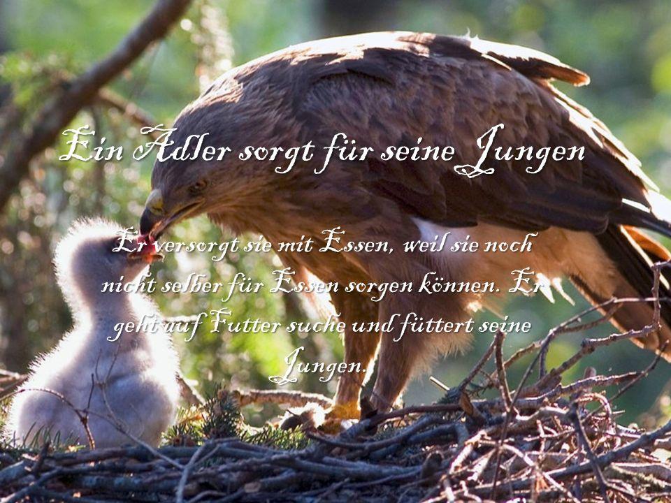 Ein Adler sorgt für seine Jungen