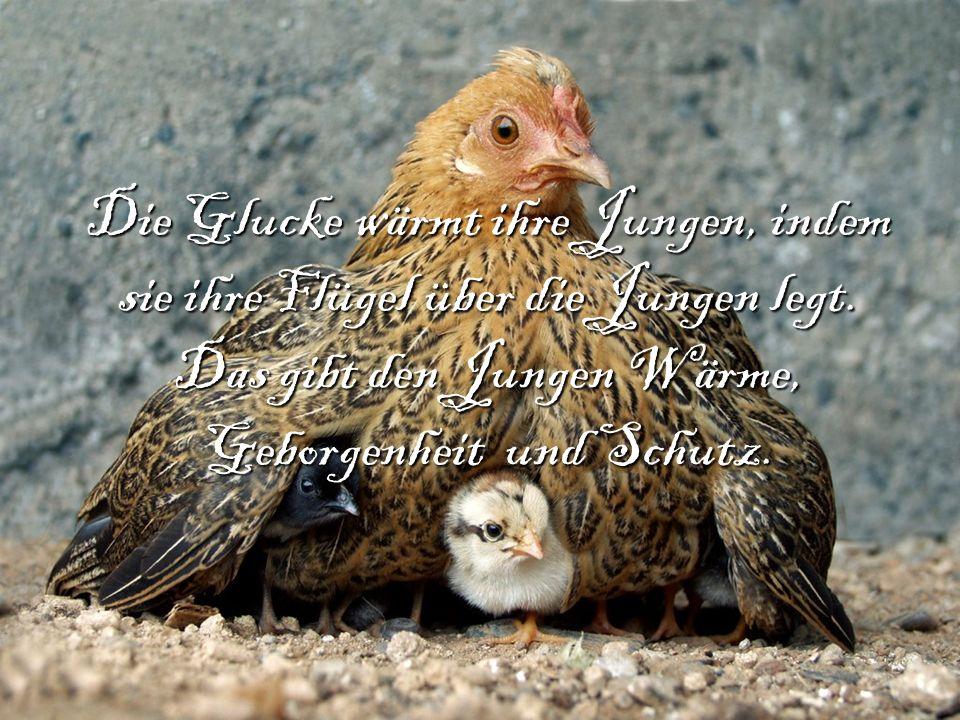 Die Glucke wärmt ihre Jungen, indem sie ihre Flügel über die Jungen legt.