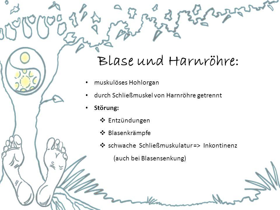 Blase und Harnröhre: muskulöses Hohlorgan