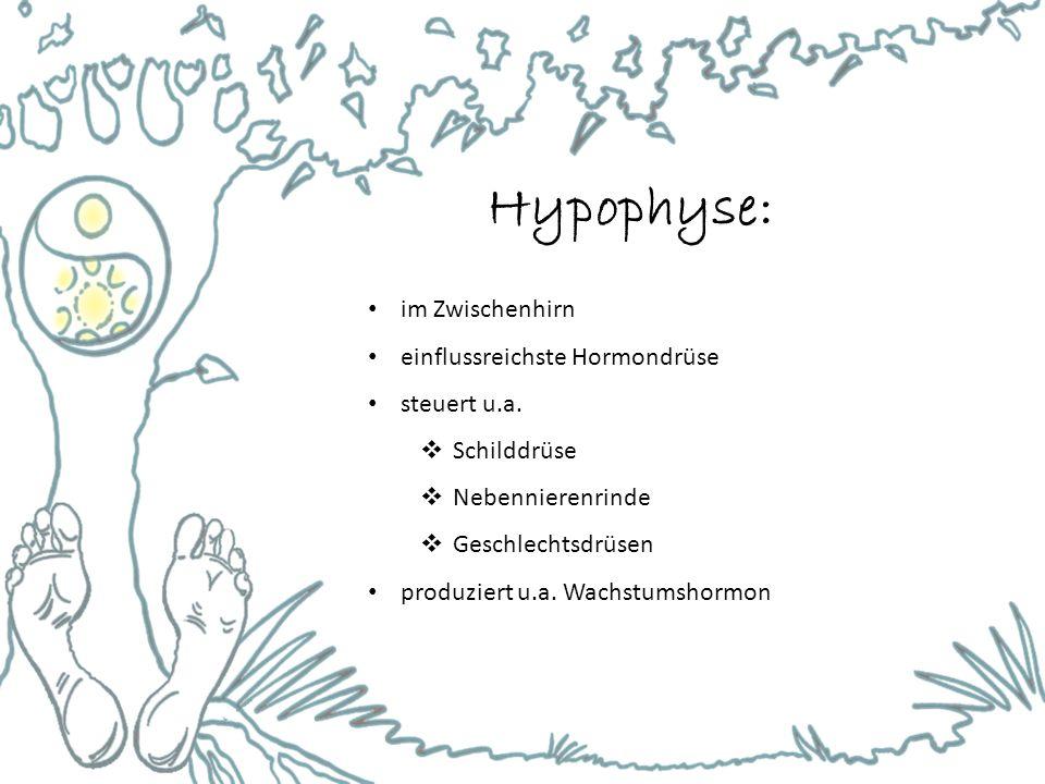 Hypophyse: im Zwischenhirn einflussreichste Hormondrüse steuert u.a.