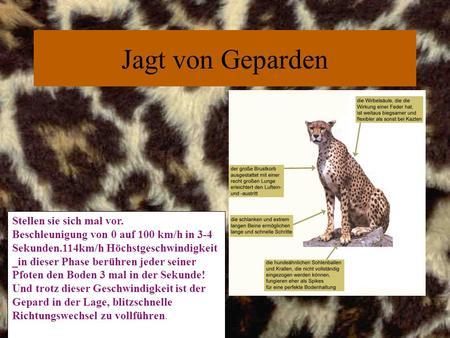 Präsentiert von: Leo. Das Gepardenfell hat eine goldgelbe Grundfarbe ...