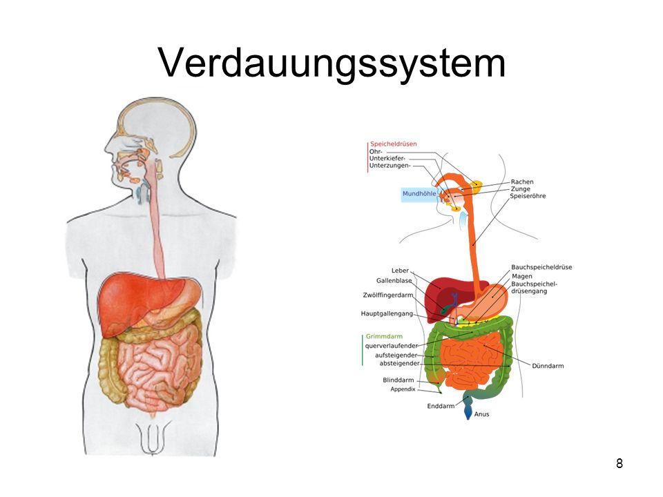 Fantastisch Das Verdauungssystem Bilder Zeitgenössisch - Anatomie ...
