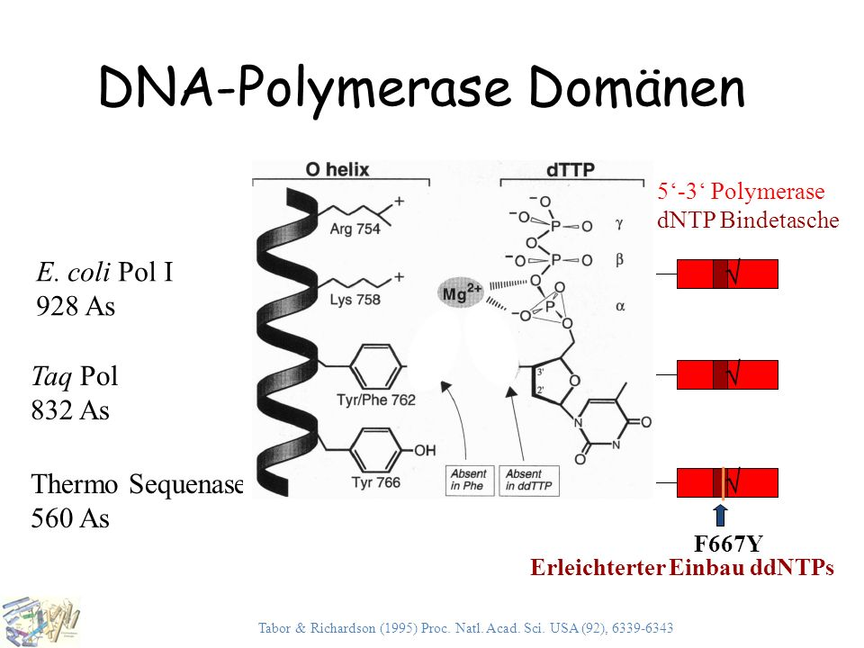 DNA-Polymerase Domänen