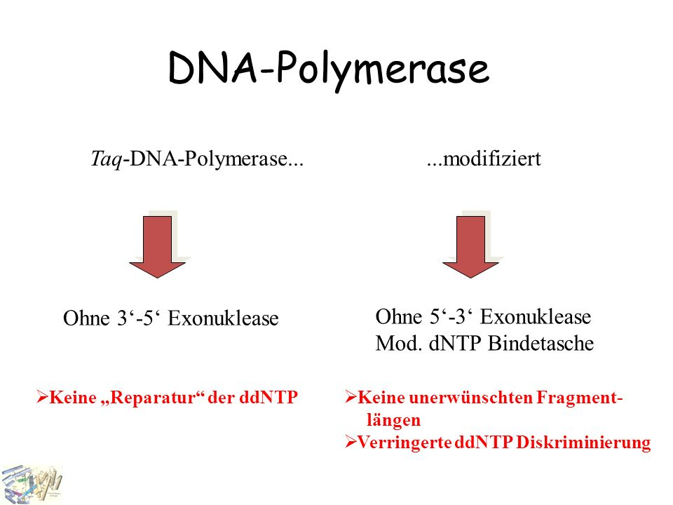 DNA-Polymerase Taq-DNA-Polymerase... ...modifiziert