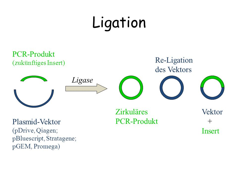 Ligation PCR-Produkt Re-Ligation des Vektors Plasmid-Vektor Ligase
