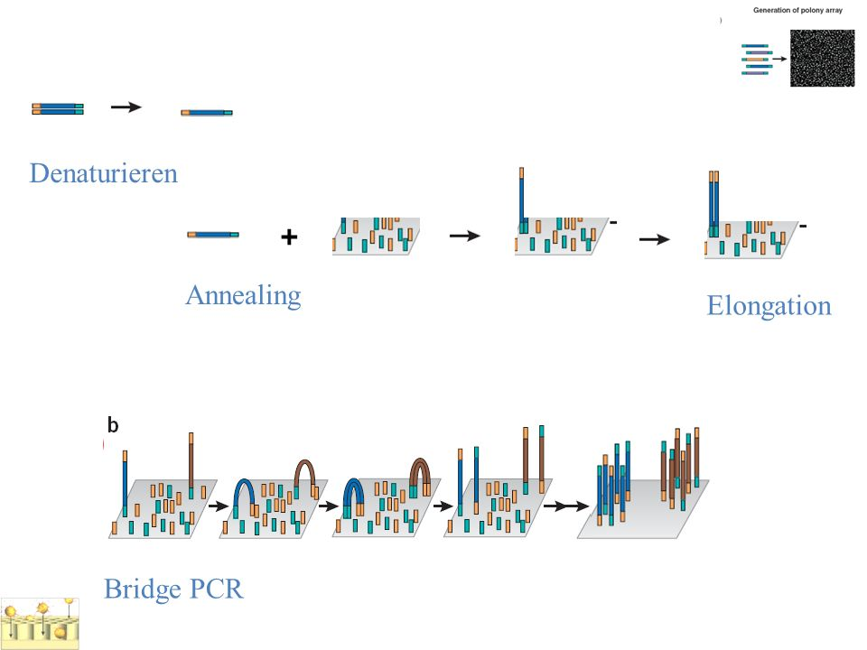 Denaturieren + Annealing Elongation Bridge PCR