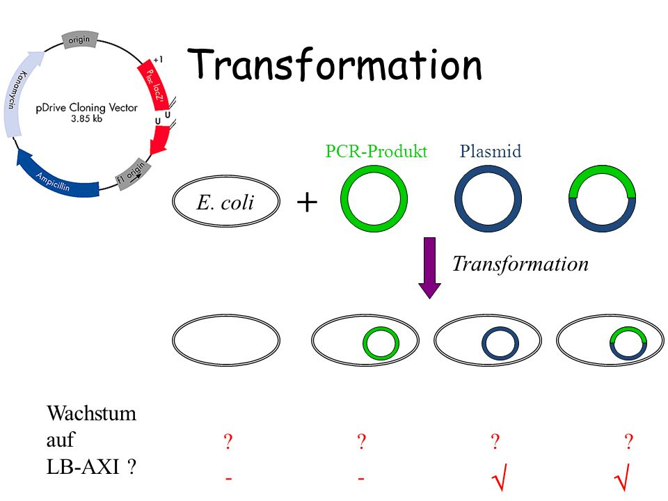 Transformation +   E. coli Transformation Wachstum auf LB-AXI