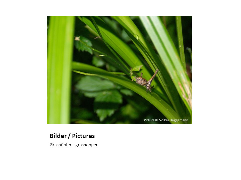 Bilder / Pictures Grashüpfer - grashopper