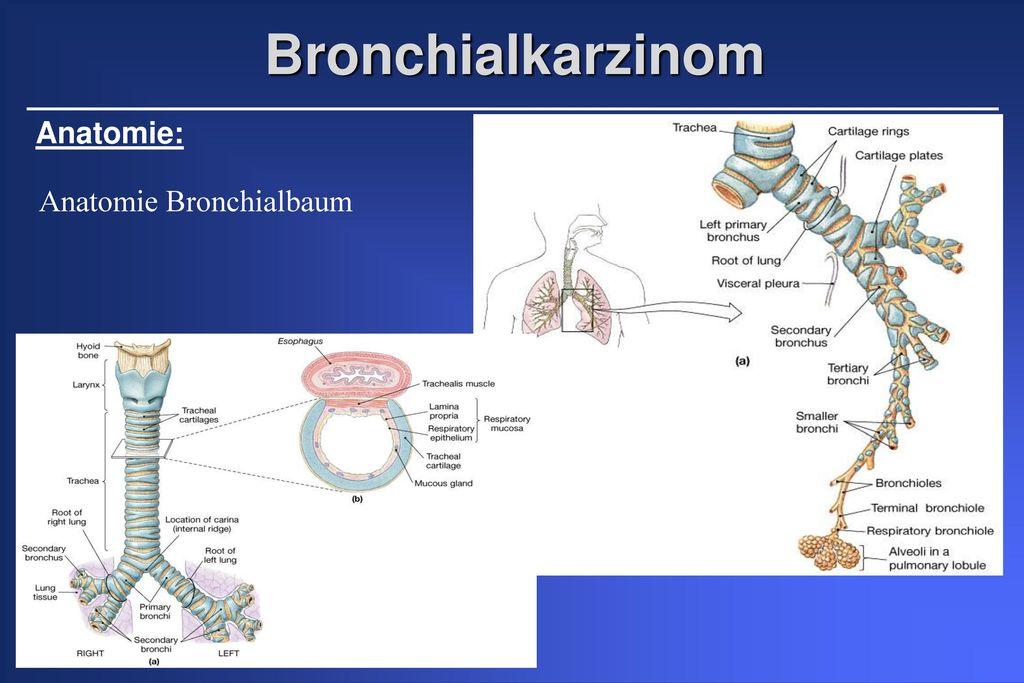 Anatomie der Lungenlappen und Segmente - ppt herunterladen