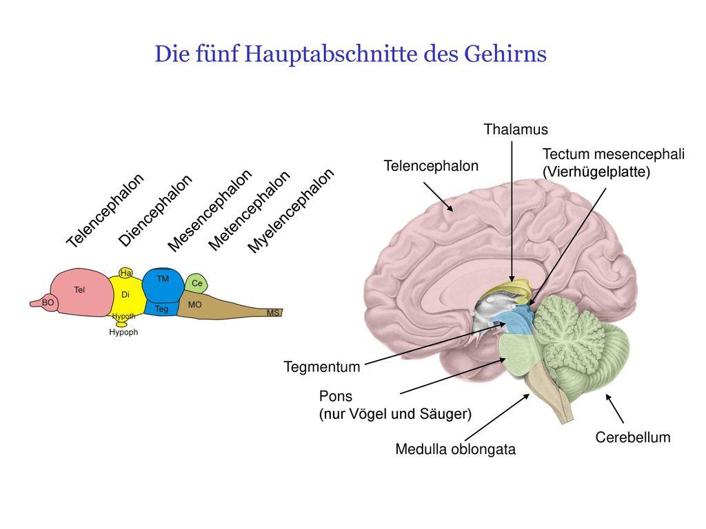 Anatomie des Gehirns. - ppt herunterladen