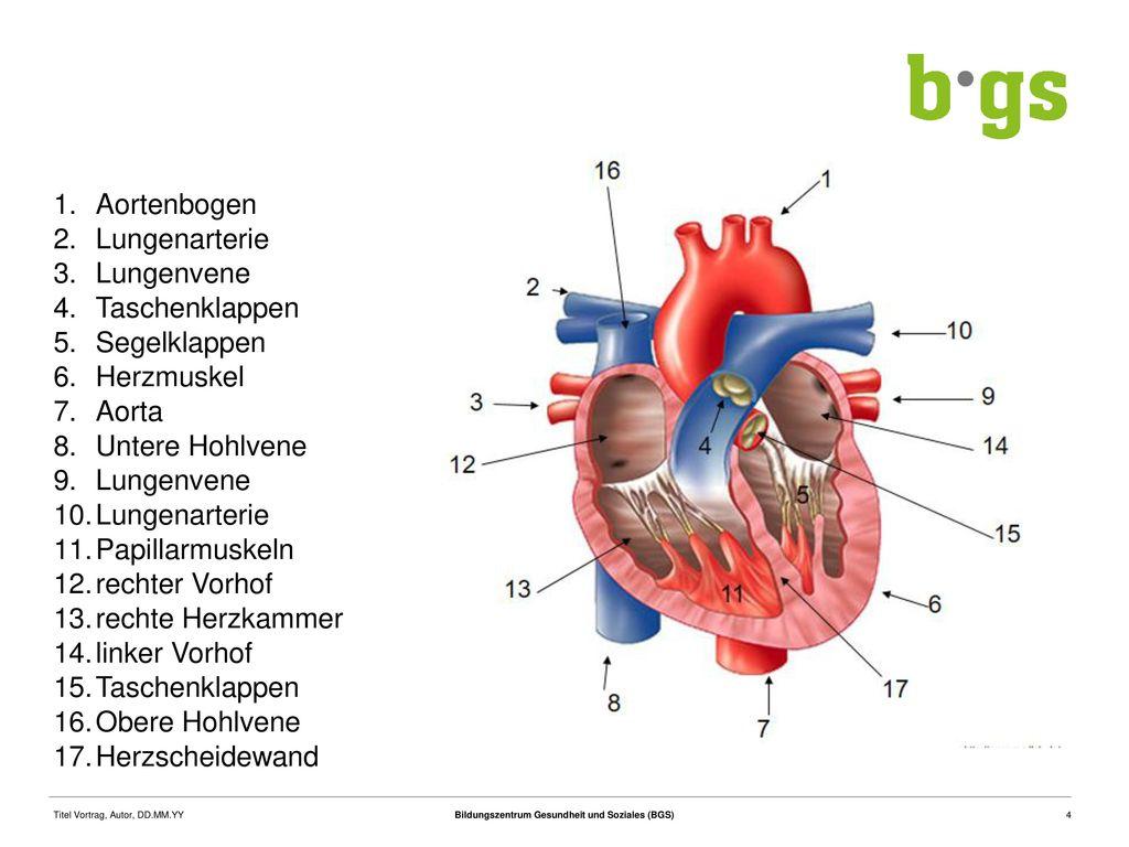 Berühmt Herz In Der Anatomie Zeitgenössisch - Physiologie Von ...