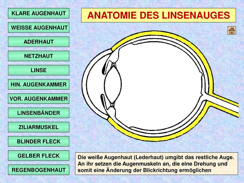 ANATOMIE DES LINSENAUGES - ppt herunterladen